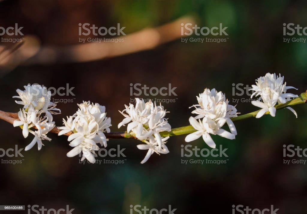 Coffee flower blossomming in cafe plantation zbiór zdjęć royalty-free