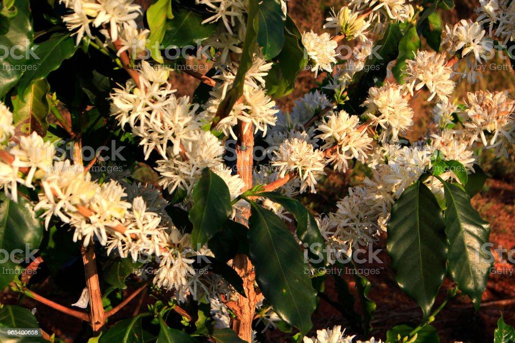 Blossomming café flor na plantação de café - Foto de stock de Agricultura royalty-free
