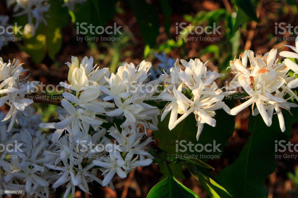 咖啡花 blossomming 在咖啡館種植園 - 免版稅力量圖庫照片