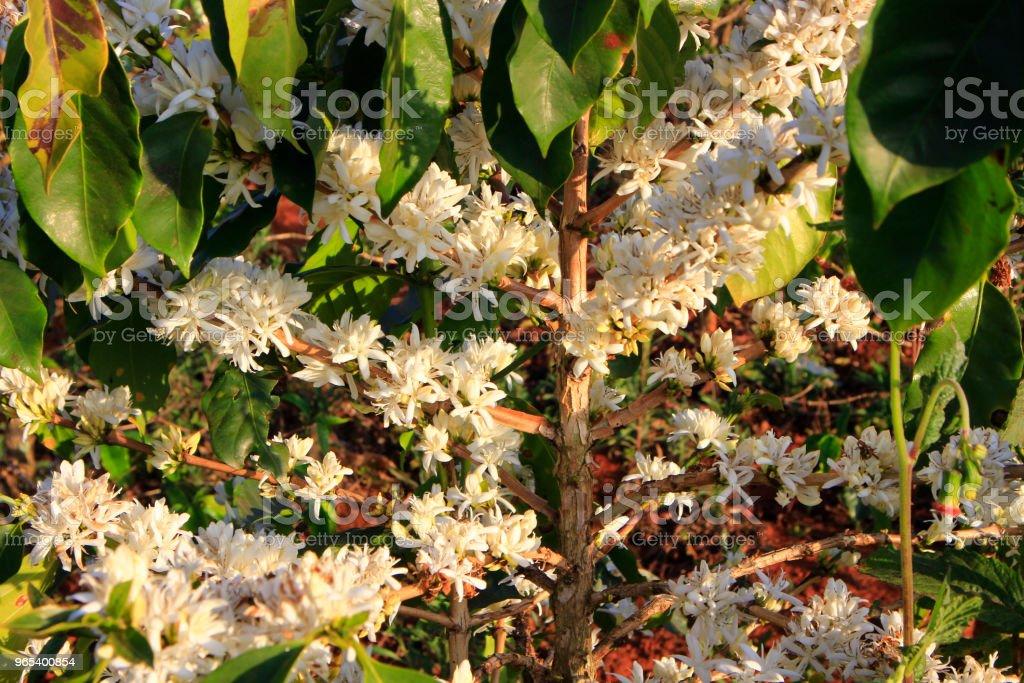 Kaffee Blume Blossomming im Café Plantage - Lizenzfrei Agrarbetrieb Stock-Foto
