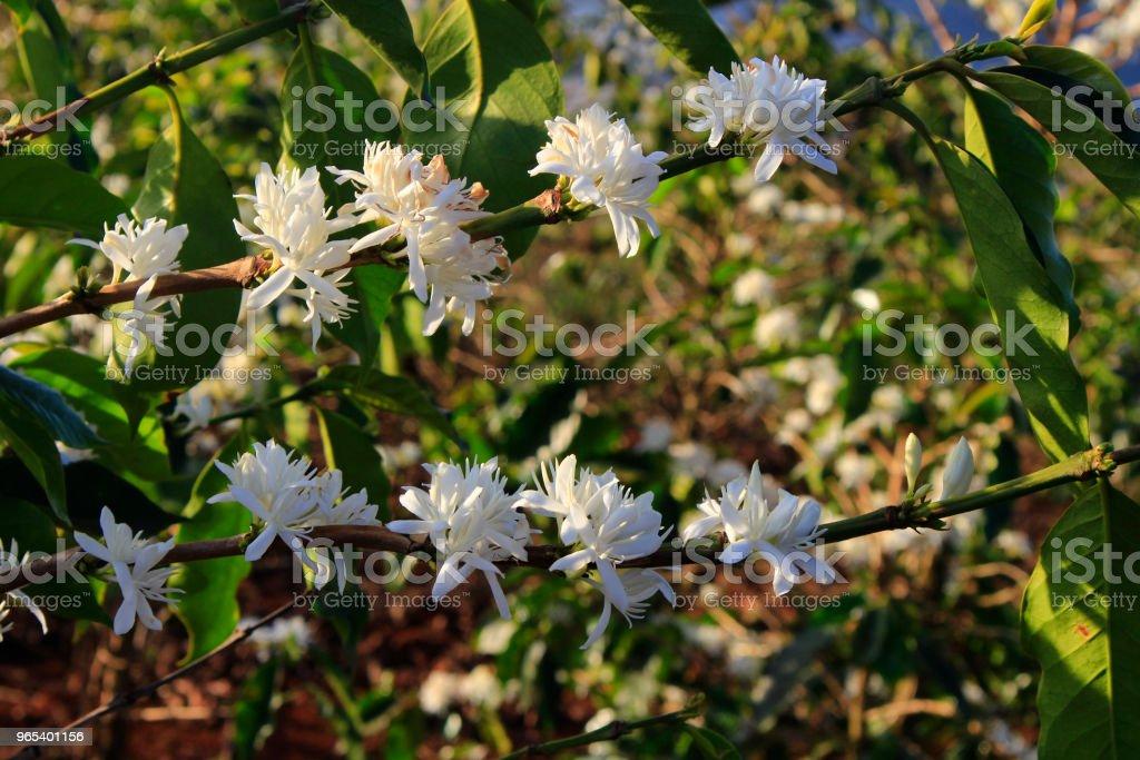 카페 농장에서 커피 꽃 blossomming - 로열티 프리 관목 스톡 사진