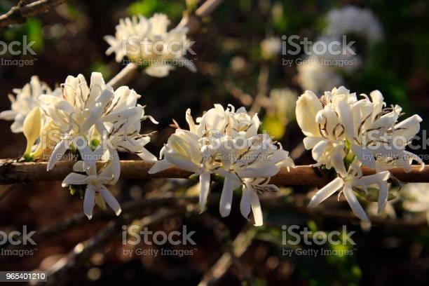 카페 농장에서 커피 꽃 Blossomming 관목에 대한 스톡 사진 및 기타 이미지