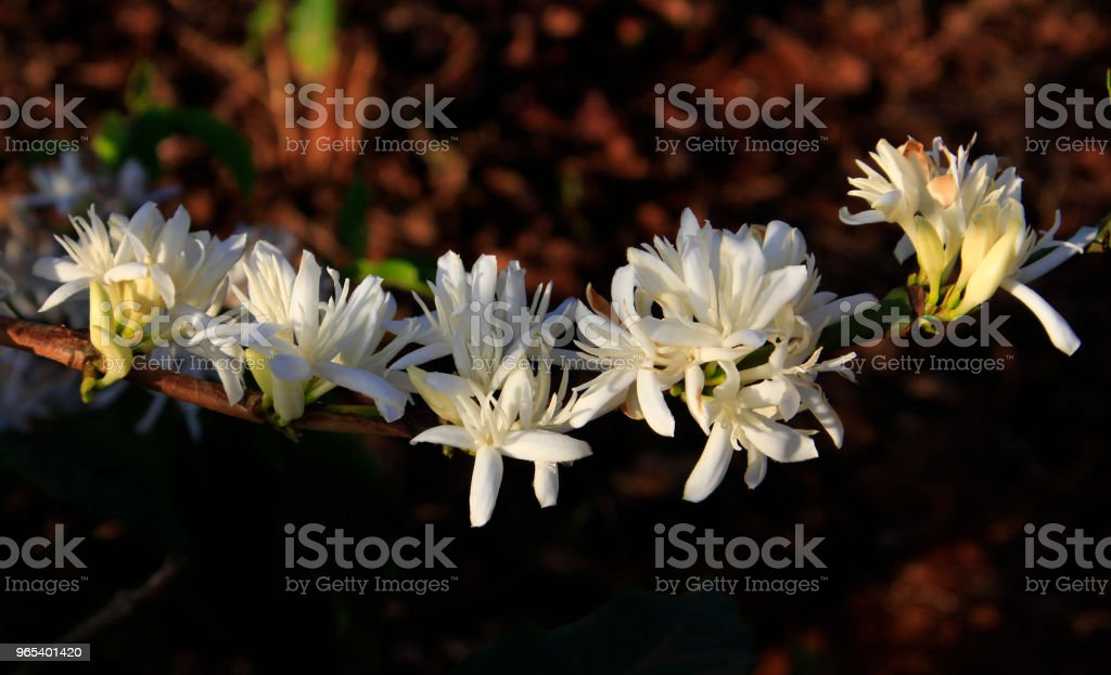 Coffee flower blossomming in cafe plantation royalty-free stock photo