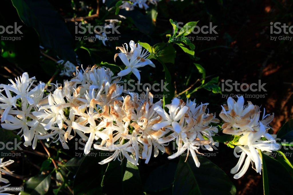 Blossomming fleur de café dans la plantation de café - Photo de Agriculture libre de droits