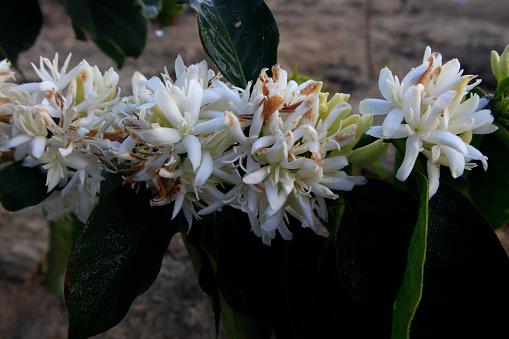 Coffee Flower Blossomming In Cafe Plantation - zdjęcia stockowe i więcej obrazów Drzewo