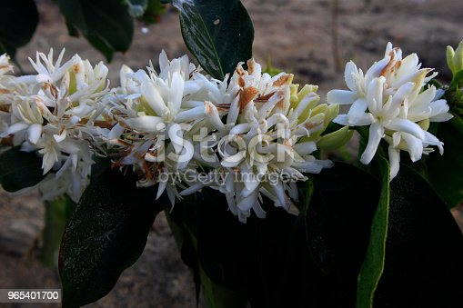 Coffee Flower Blossomming In Cafe Plantation Stock Photo & More Pictures of Agriculture