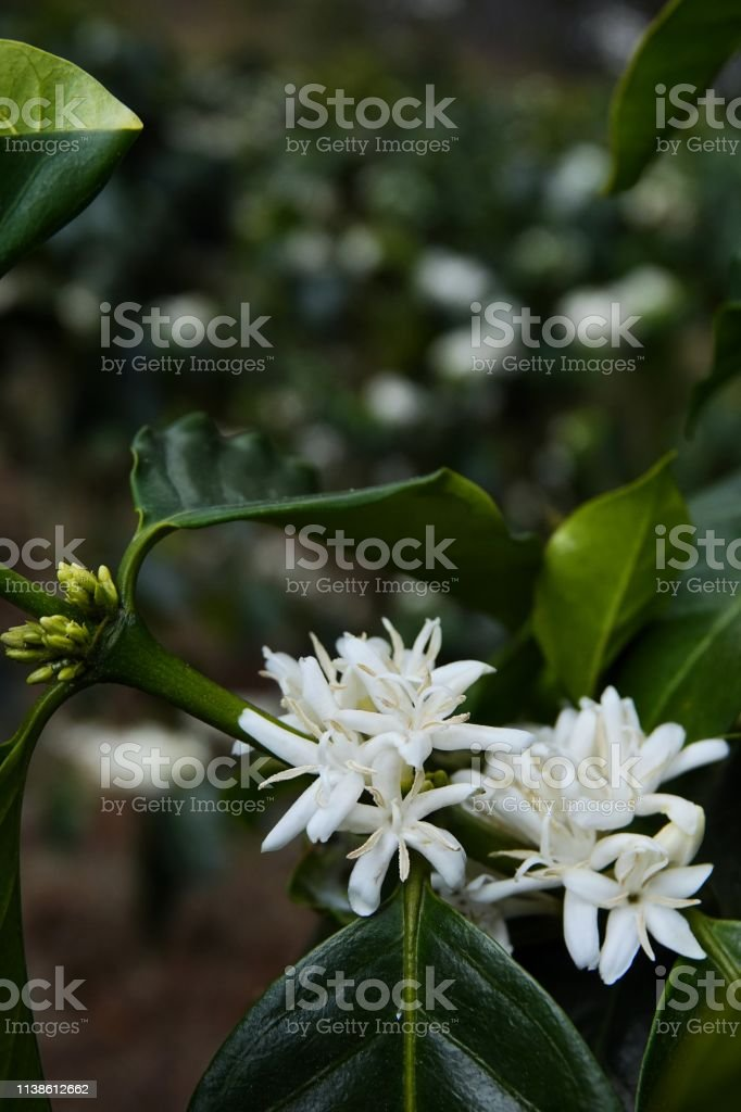 coffee flowers, branches on tree with leaves green coffee and white flower blossom, branches on tree with leaves Agriculture Stock Photo