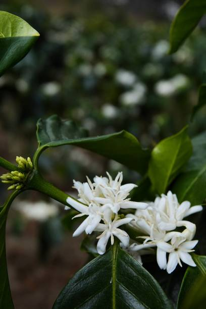 coffee flowers, branches on tree with leaves