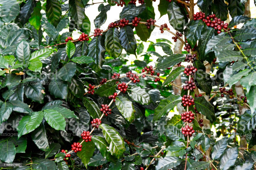 Coffee fruit tree Coffee tree (Coffea arabica) with berries fruit Agriculture Stock Photo