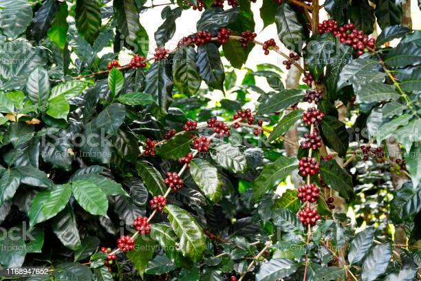 Coffee Fruit Tree Stock Photo - Download Image Now