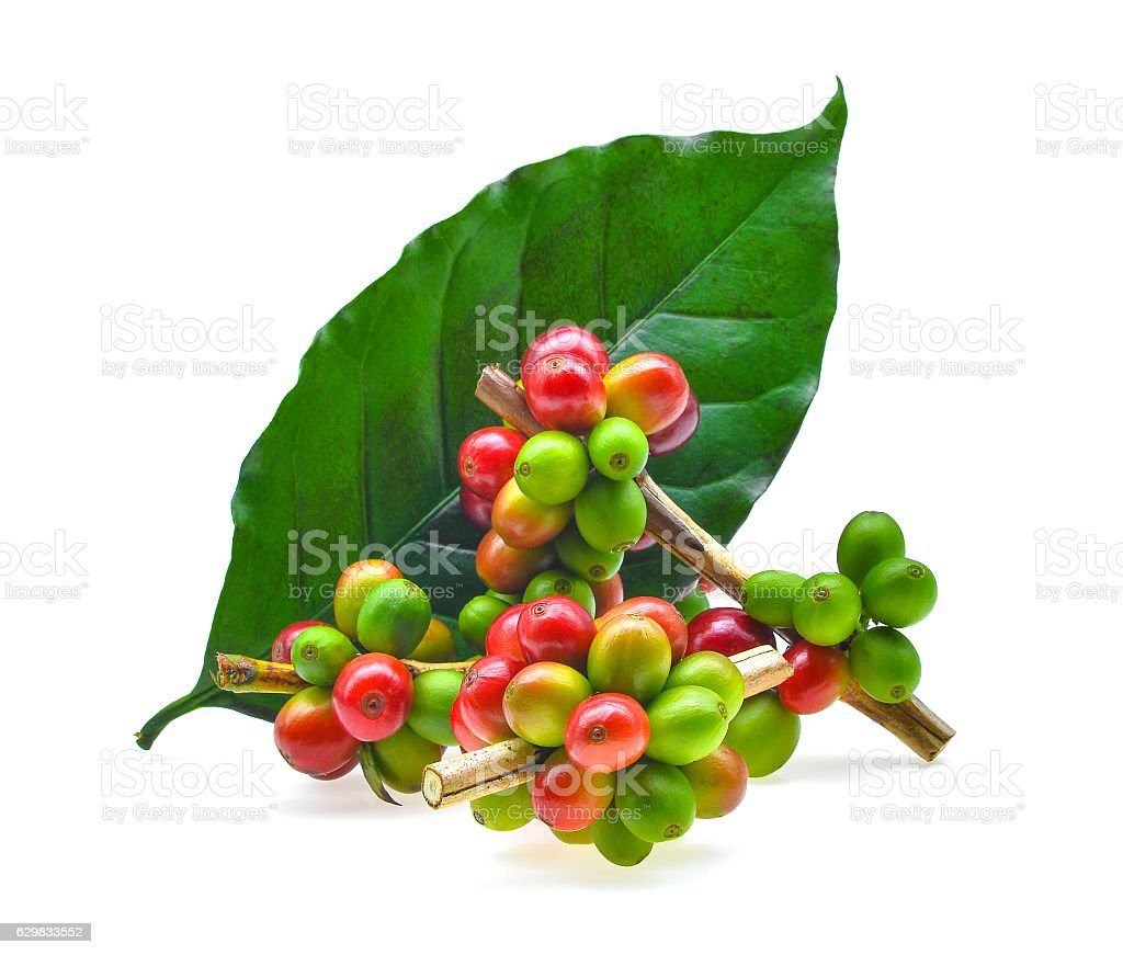 coffee grains and leaves isolated on white background stock photo