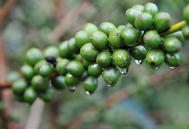 Coffee - green Arabica beans from Kenya stock photo