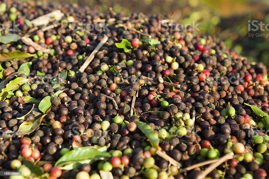 Coffee Harvest stock photo