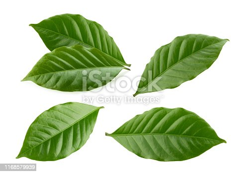 coffee leaves isolated white background