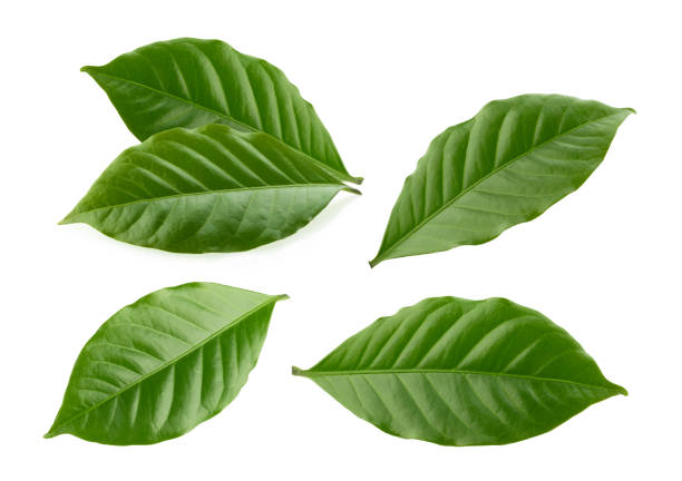 coffee leaves isolated white background coffee leaves isolated white background leaf stock pictures, royalty-free photos & images