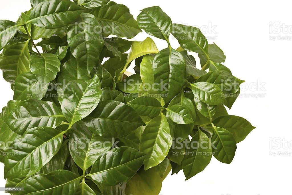 Coffee leaves stock photo