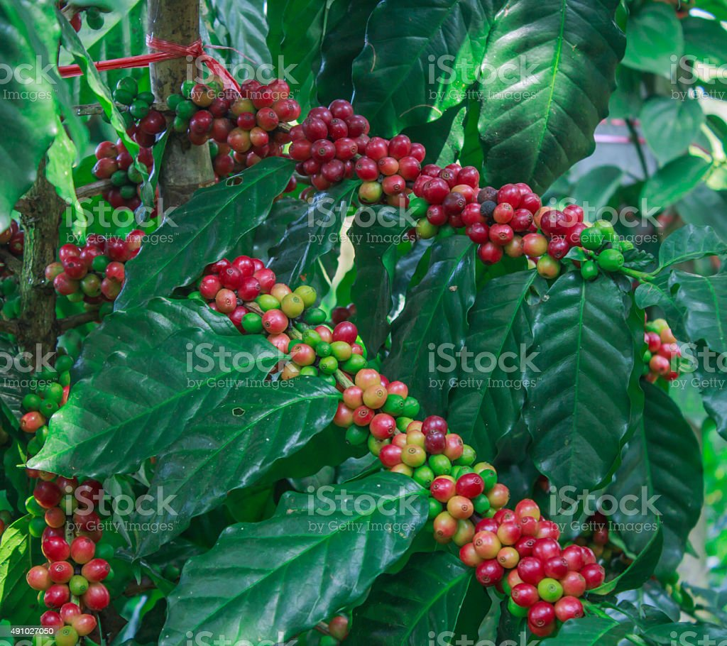 coffee on tree stock photo