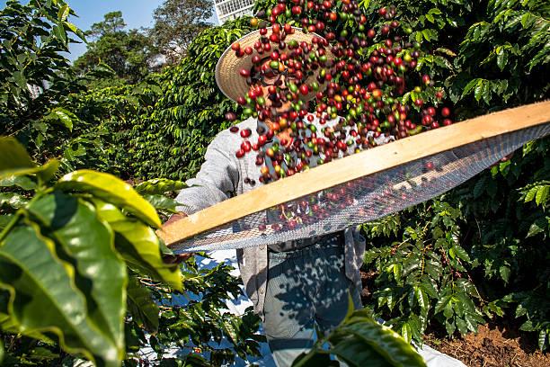 il caffè - coffee farmer foto e immagini stock