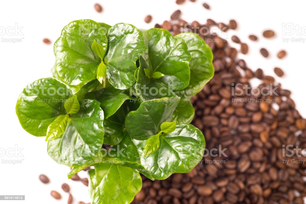 coffee plant and coffeebeans stock photo