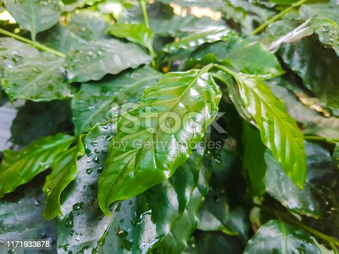 Coffee plant close up. Wet leafs.