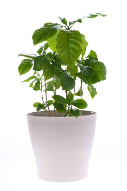 Coffee plant in flower pot. Houseplant. stock photo