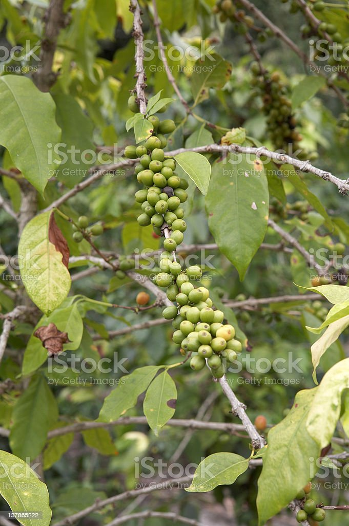 Coffee Plant royalty-free stock photo