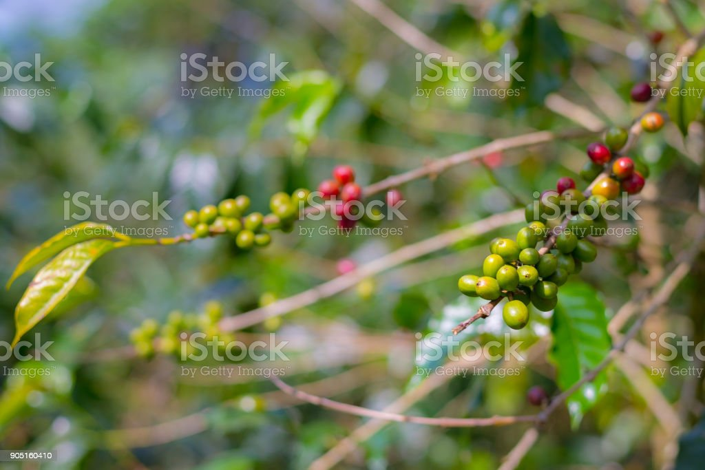 Coffee plant, ripe coffee beans on branch close up, green red unripe coffee grains, selective focus. stock photo