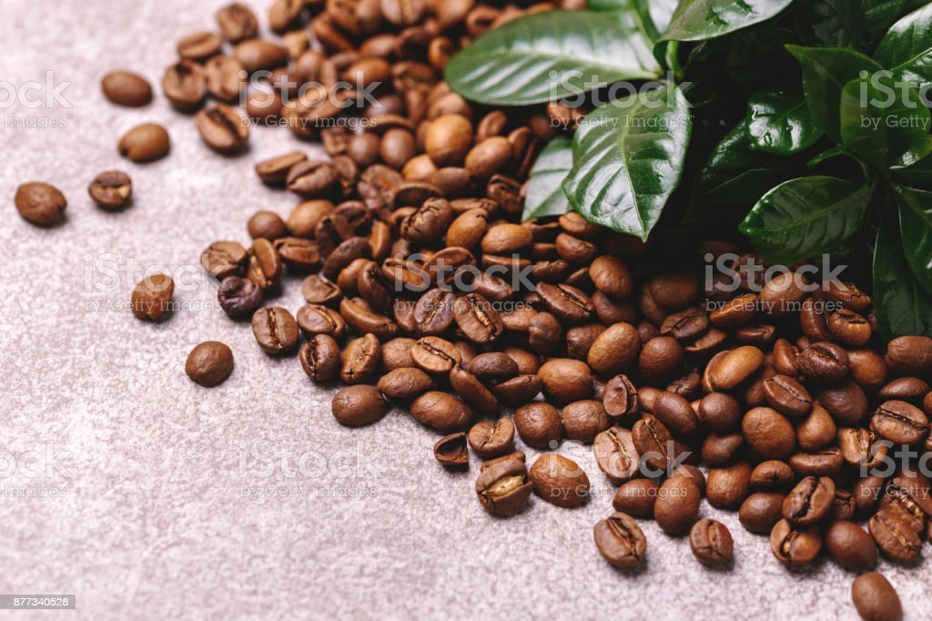 Coffee plant tree and roasted coffee beans. Horizontal view stock photo