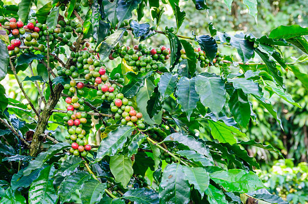 Coffee plant with beans starting to ripen stock photo