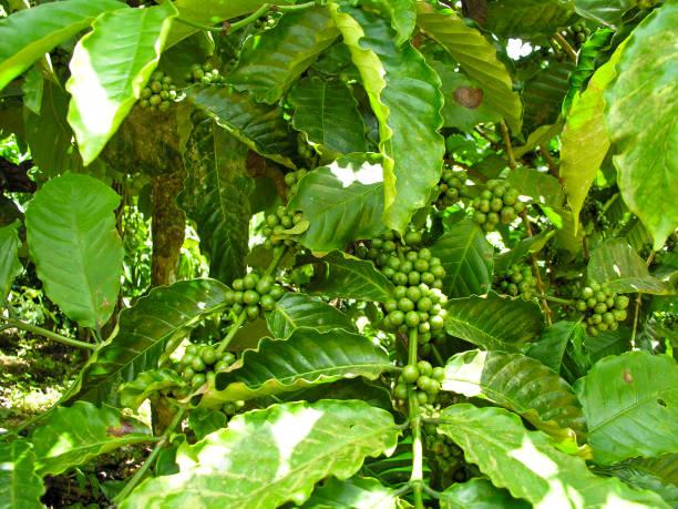 Kaffeepflanze mit Kaffeebohnen – Foto
