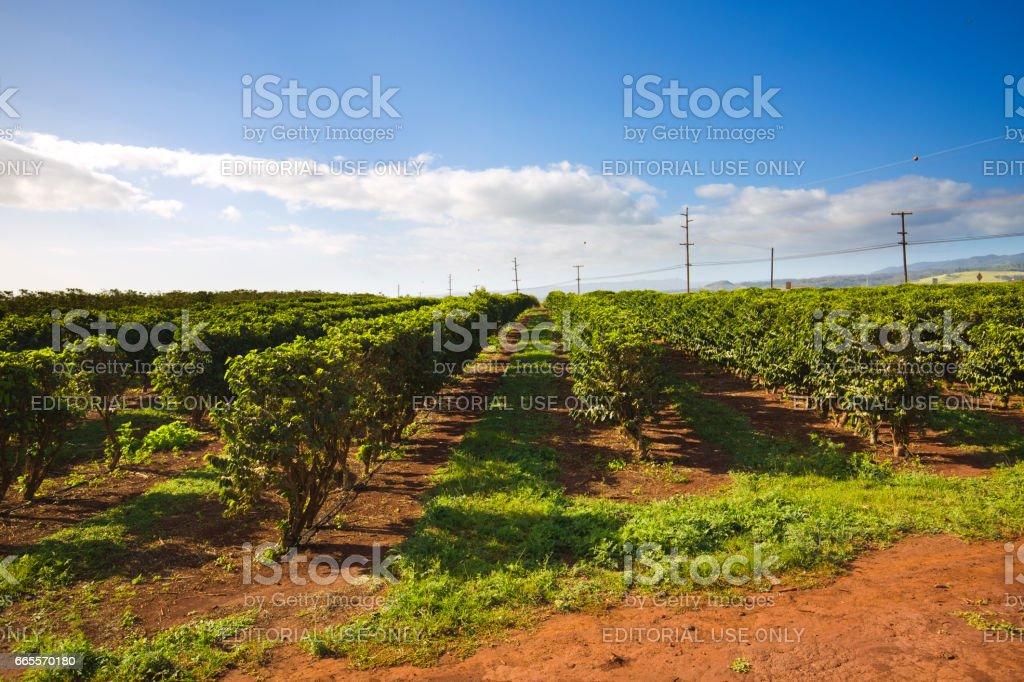 Coffee Plantation Farm Field in Kona Hawaii USA stock photo