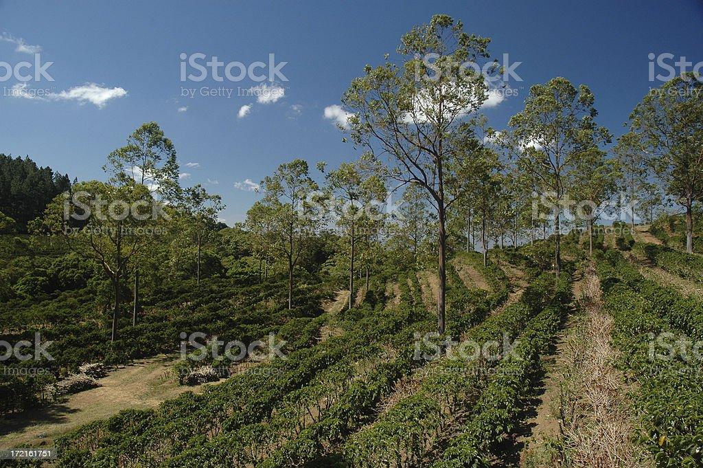 Coffee Plantation in Costa Rica stock photo