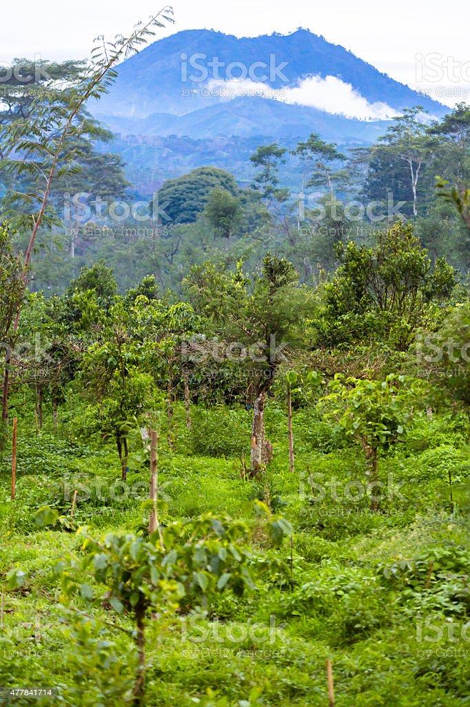 Coffee plantation in Indonesia stock photo