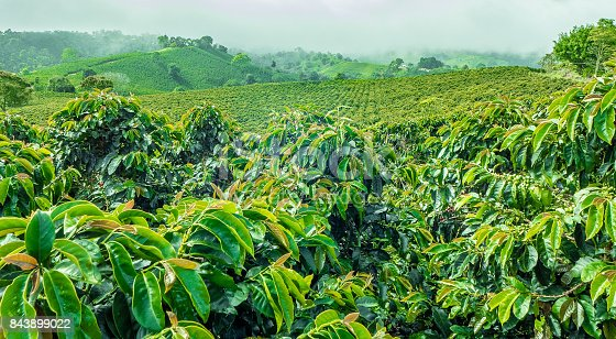 istock Coffee Plantation in Jerico, Colombia 843899022