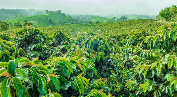 Coffee Plantation in Jerico, Colombia This image show a coffee plantation in Jerico, Colombia coffee crop stock pictures, royalty-free photos & images