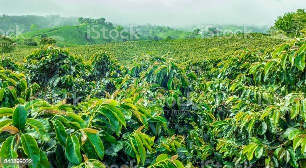 This image show a coffee plantation in Jerico, Colombia