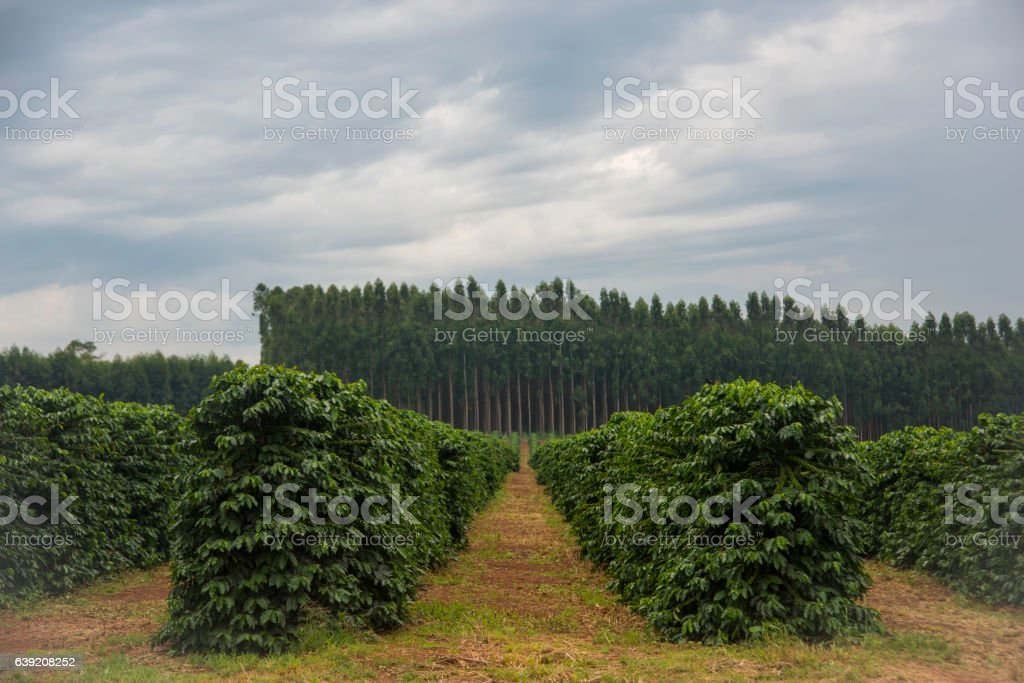 Coffee plantation in Minas Gerais-Brazil – Foto