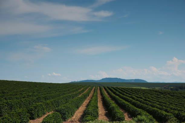 Coffee plantation in Minas Gerais-Brazil – Foto