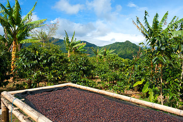 Coffee plantation in Panama, Central America.