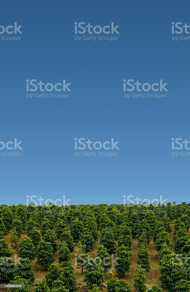 Coffee Plantation in the mountains stock photo