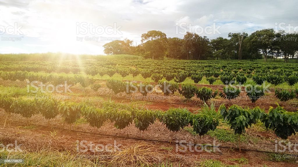 Coffee plantation landscape - Brazil stock photo