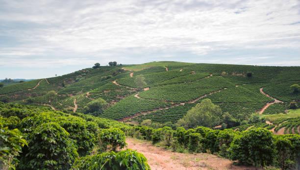 Coffee plantation over 1100m in Brazil – Foto