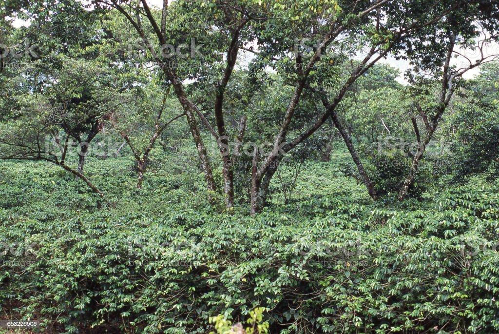 Coffee Plantation Under Shade Trees Near Lake Yojoa ...