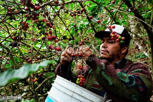 Harvesting coffee cherries in the dense tropical forest of Mexico near Puerto Vallarta, Mexico