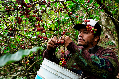 A Coffee Plantation Worker Harvesting Ripe Cherries From A Coffee Tree