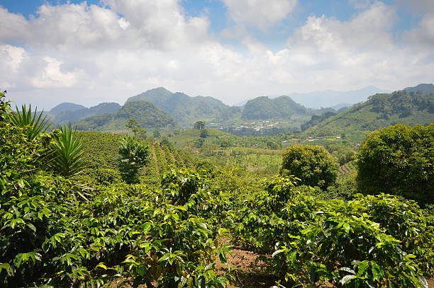 Coffee plantations in the highlands of western Honduras Coffee plantations in the highlands of western Honduras by the Santa Barbara National Park honduras stock pictures, royalty-free photos & images