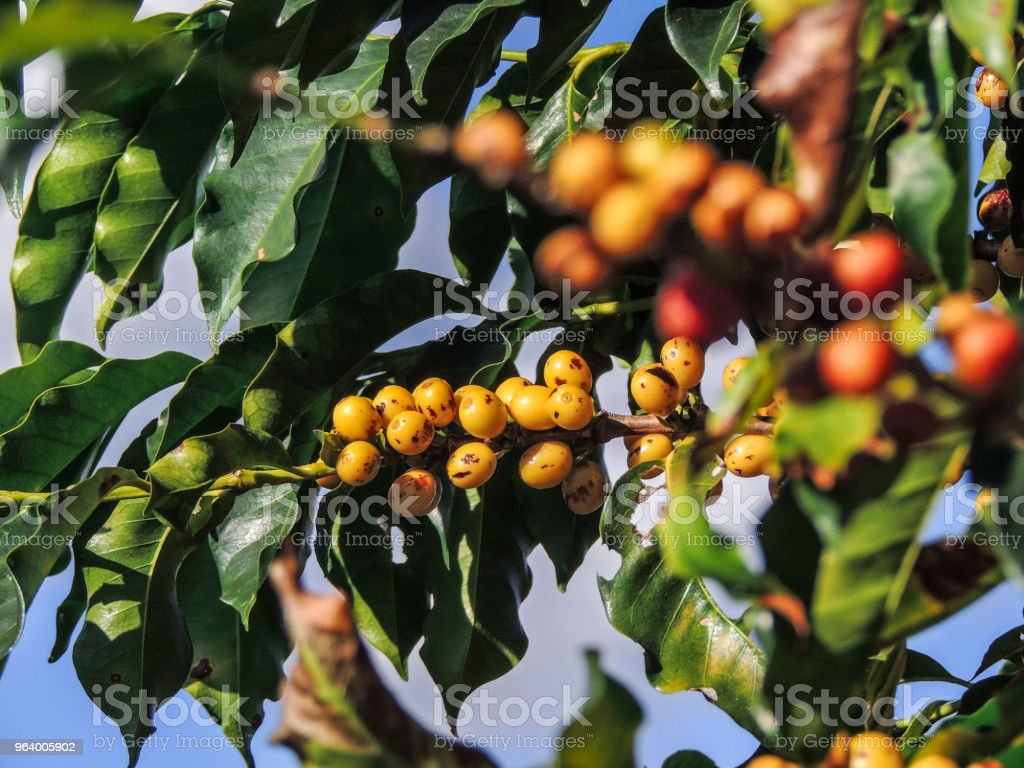 Coffee Plants ready for the Crop - Royalty-free Brazil Stock Photo