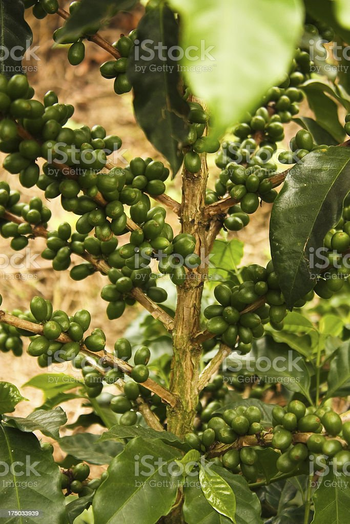 Coffee plants to mature. royalty-free stock photo
