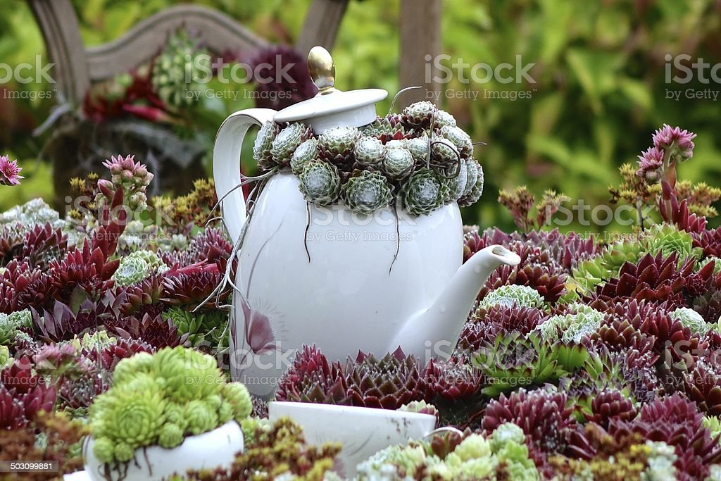 coffee pot in a houseleek landscape stock photo