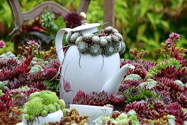 kaffeekanne in einem hauswurz landschaft - dachwurz stock-fotos und bilder